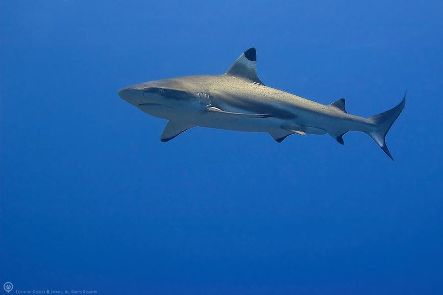 reef-shark